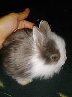 Карликовый кролик ангора