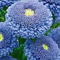 Астра принцесса Кристина голубая, семена 0,3г