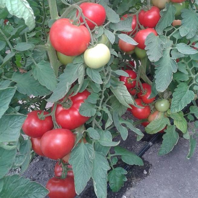 Насіння томату Берберана F1 (500 сем.) Enza Zaden