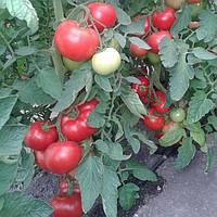 Семена томата Берберана F1 (500 сем.) Enza Zaden