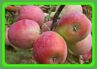 Саженцы яблони сорт Декоста Плотное, сочное, приятно кисло-сладкое. (на среднерослом подвое)