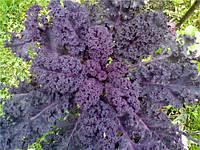 Капуста листовая Кале Скарлет (Kale Scarlet) 15 семян