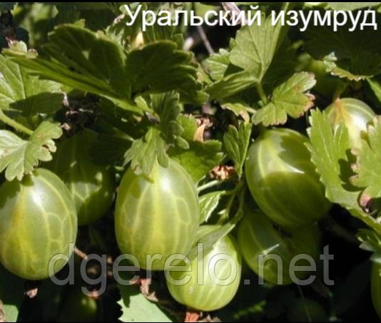 Саженцы крыжовника - Уральский изумруд (ранний) шипы