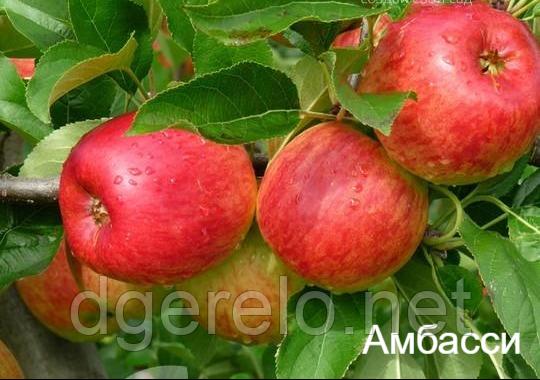 Эмбасси (Амбасси) - яблоня летняя 2 летний
