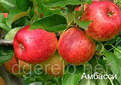 Эмбасси (Амбасси) - яблоня летняя.