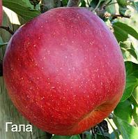 Саженцы яблони Гала (осенний) 2-х летка
