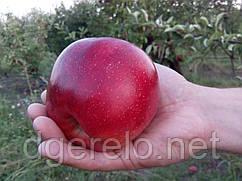 Сорт яблони осенней Граф Эзо. Крупный и сладкий плод