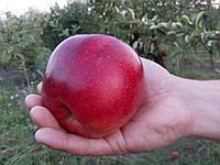 Сорт яблони  Граф Эзо(осенний) М-9, 106