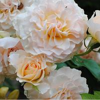 Саженец Роза английская Эскалибур (Excalibur)