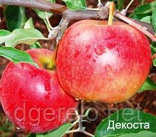 Саженцы яблони зимней - Декоста. 2 летний