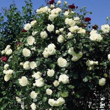 Саджанець Троянда плетущая махрова Сяюча Наречена (Shining Bright)