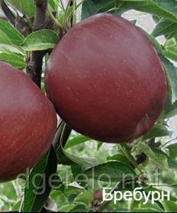 Саженцы яблони Бребурн - зимний, устойчивый, транспортабельный. 2 летний