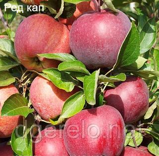 Яблоня зимняя сорт Ред Кап. ММ-106