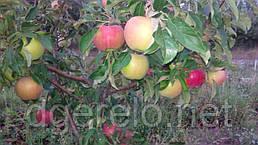 Саженцы яблони  Айдаред (зимний)106