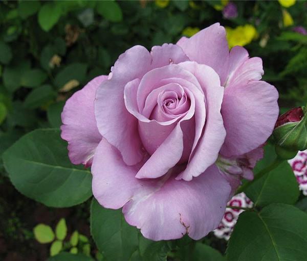 шарль де голль роза фото