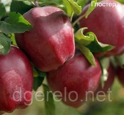Саженцы яблони зимней Глостер.ММ-106
