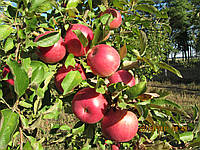 Саженцы яблони - сорт Спартан (зимний)