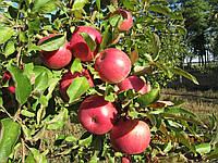 Саженцы яблони -сорт Спартан (зимний) ММ-106