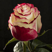 Саженец Роза чайно-гибридная Свитнес (Sweetness)