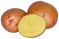 Картопля сорт Іванківська рання