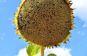 Семена подсолнуха Арлет