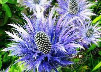 Насіння синьоголовника альпійського, 1 насінина