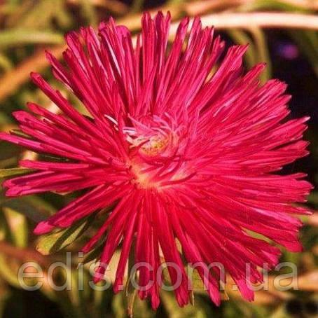 Айстра голчаста Вогник, насіння 0,3 г, Яскрава, фото 2