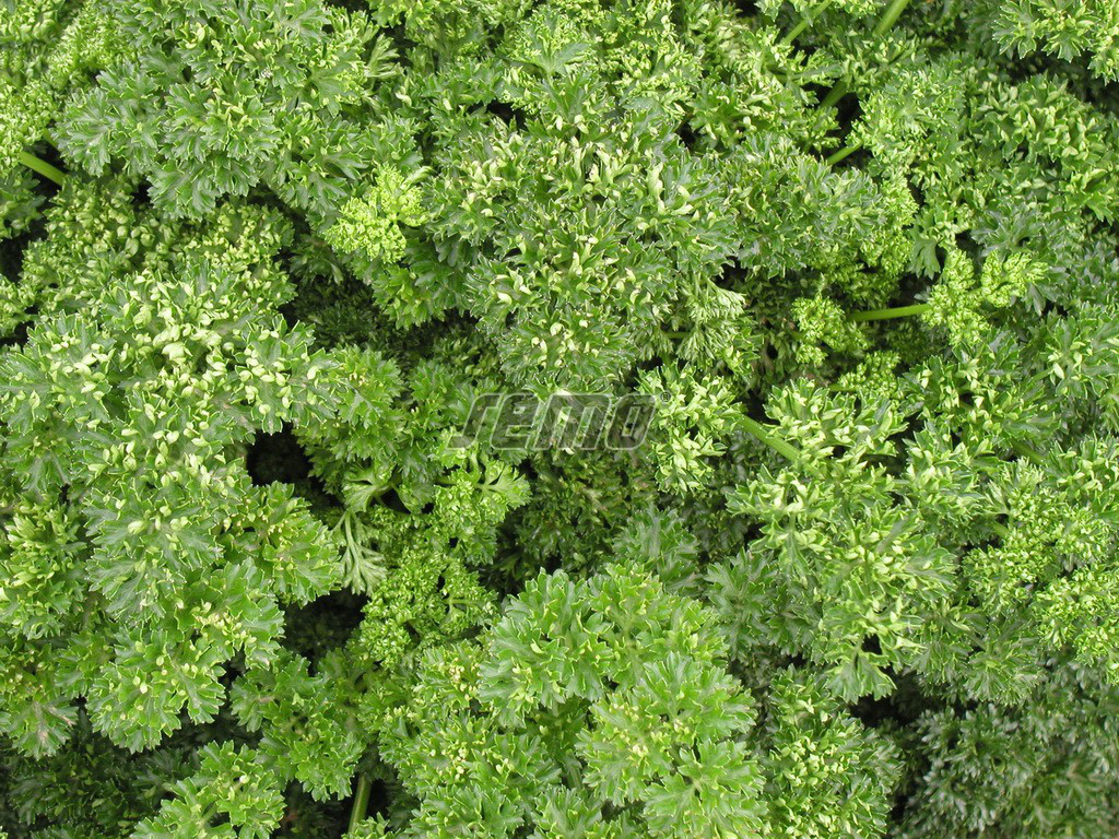 Семена петрушки Кудринка 1 кг SEMO