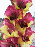 Гладиолус бамбино Vasto (2 цветоноса) 3 шт./уп.