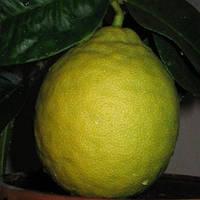Лимон Пандероза 2-х летний