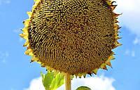 Семена подсолнуха Анцилла