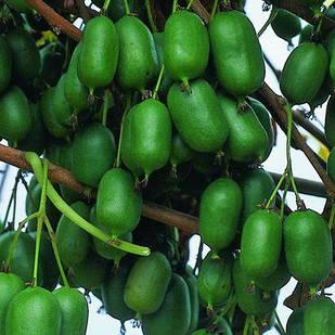 Саженцы актинидии (киви) Оригинальная (Original) - женский сорт, урожайная, морозостойкая