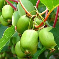 Саженцы Актинидия (киви) Вити Киви (Vitikiwi) - женский сорт, крупноплодная, сладкая