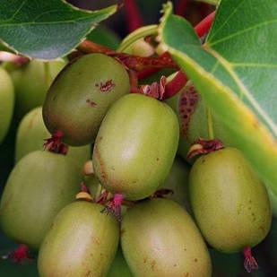 Саженец актинидии (киви) остролистная Иссаи (Issai) - двуполая, крупноплодная, морозостойкая