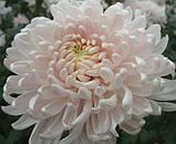 Хризантема велика МІЛКА БІЛА, фото 4