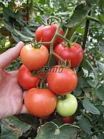 Семена томата Торино  F1 1000 семян SEMO