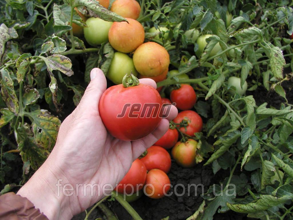 Насіння томату Павлина 10.000 насіння SEMO