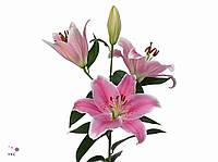 Лилия Розовая 100-110см
