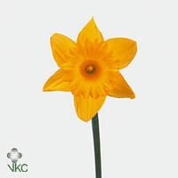 Нарцис Жёлтый