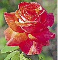 Роза Интерфлора