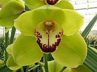 Орхидея х 6 зеленая, фото 1