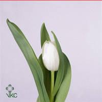 Тюльпан Белый, фото 1