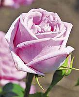 Роза Джон Лайн