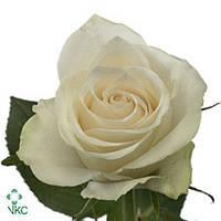 Роза Athena 70см, фото 1