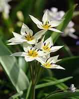 Тюльпан ботанический Turkestanica 100 шт./уп.