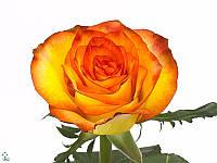 Роза High & Magic 80см, фото 1