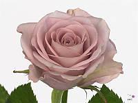 Роза Memory Lane 50см, фото 1