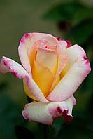 Роза Гарден Парти