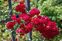 Роза Момо