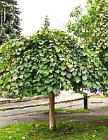 Вяз шершавый `Кампердоуни`/ Ulmus glabra 'Сamperdownii' / В'яз шершавий 'Кампердоуні'